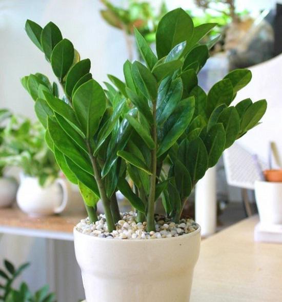 Các loại cây trồng trong nhà ống mang lại sức khỏe, tài lộc cho gia đình - Cây Kim Tiền